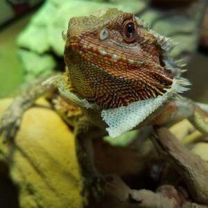 bearded dragon shedding
