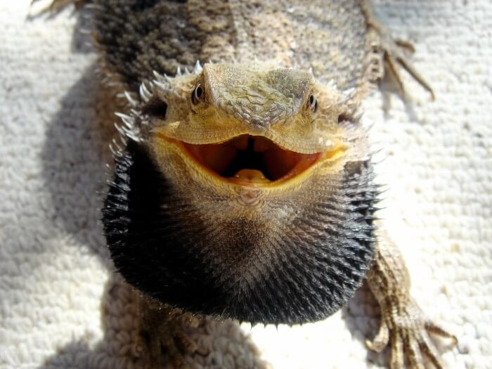 best bearded dragon substrate black beard dragon
