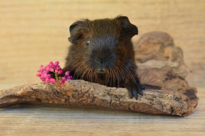 guinea pig habitat