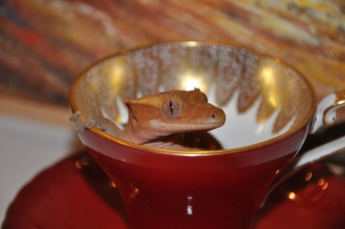 The Definitive Guide To Crested Gecko Care Kritter Care 101,Basil Pesto Sauce Recipe